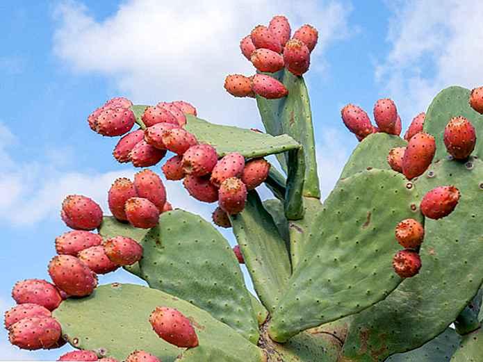 pierdere în greutate cu cactus nopal)