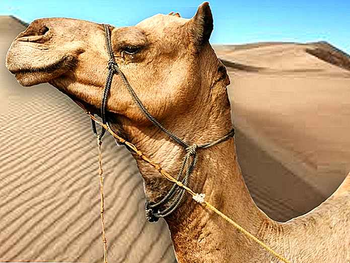 camellos 2 tipos de diabetes